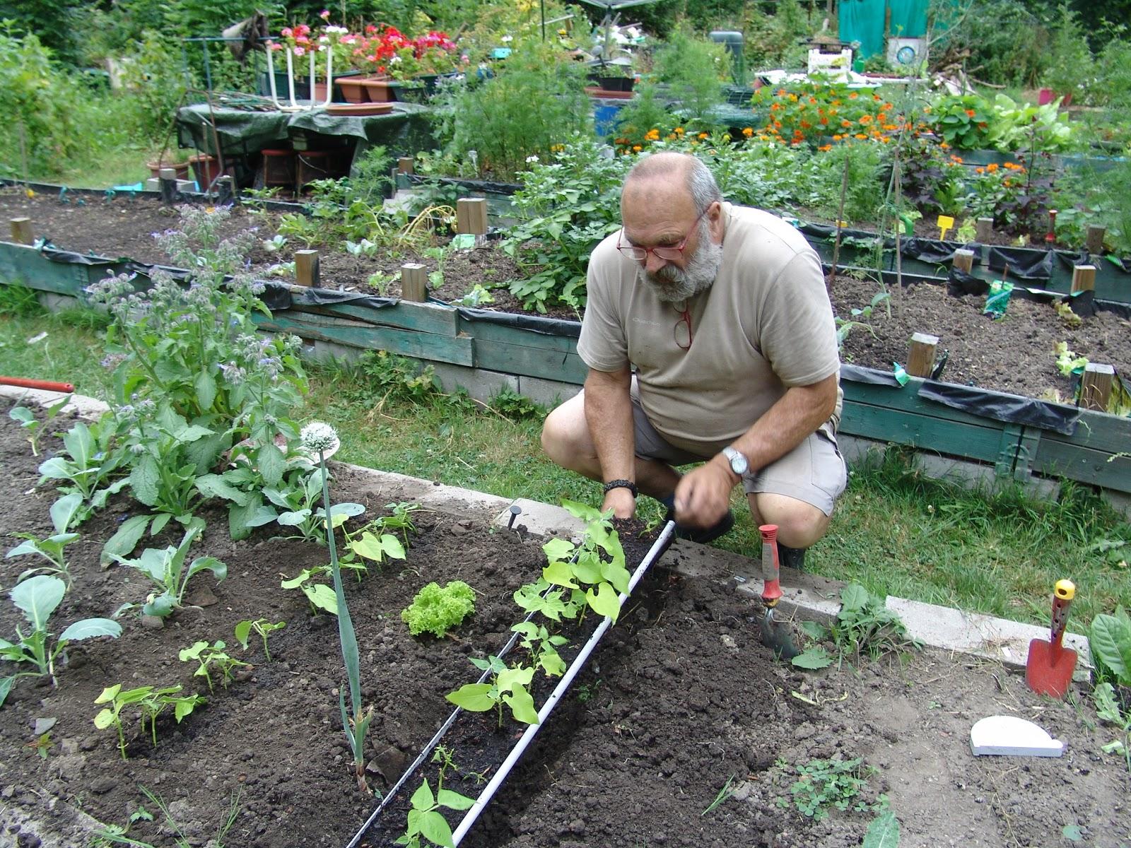 les jardins du laveu: mise en place des haricots semés en gouttière
