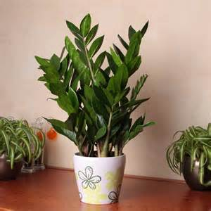 planta interior zamioculcas