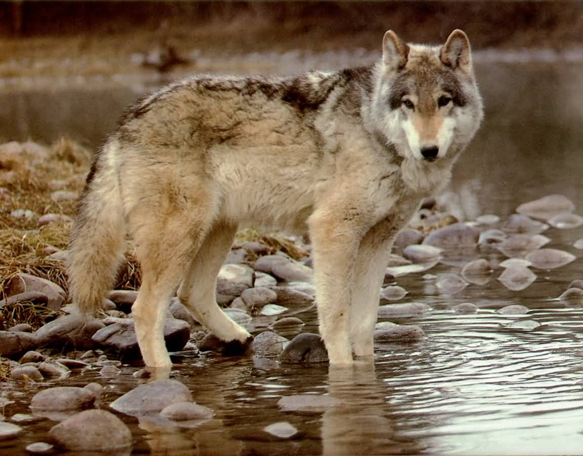 wolf the biggest animals kingdom