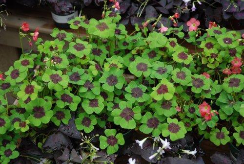 La vita tutta un click bulbi di oxalis come coltivarli - Immagini di quadrifoglio a quattro foglie ...