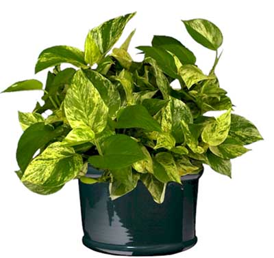 Tyler Greener Living Post 100 Golden Pothos Vine