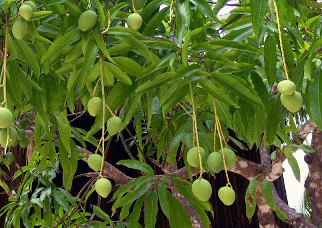 Манговое дерево на Филиппинах