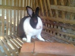 kelinci-1