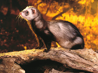 Ferrets Wallpapers
