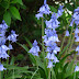 Scilla Spring Beauty