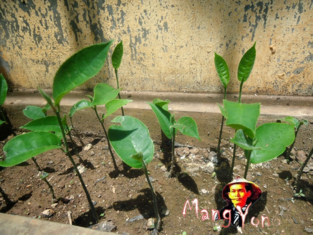 Usaha bibit tanaman adalah usaha pertanian yang menjanjikan juga