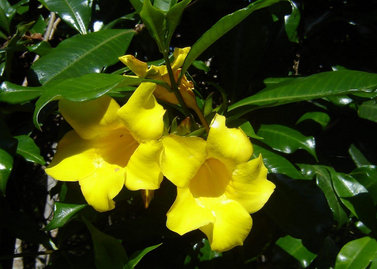 Bunga Cempaka Kuning