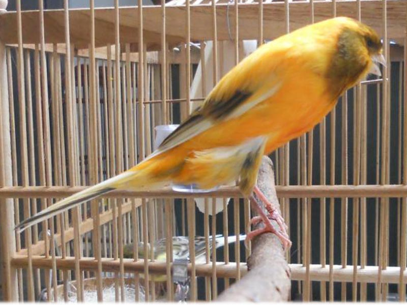 sebagai burung kenari paling disukai oleh para pecinta burung kenari    Jenis Burung Kenari