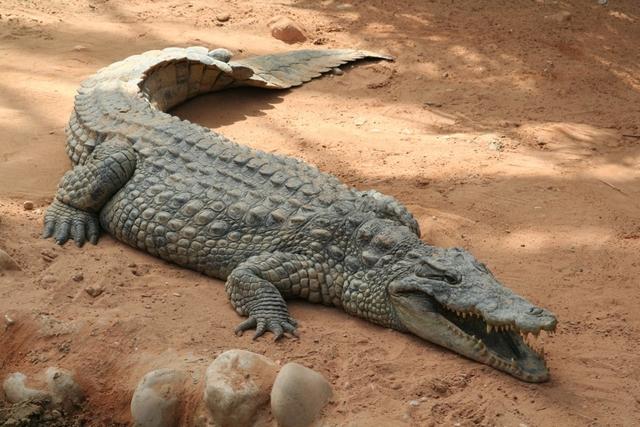 Crocodile farmers keep a crocodile till he is four years
