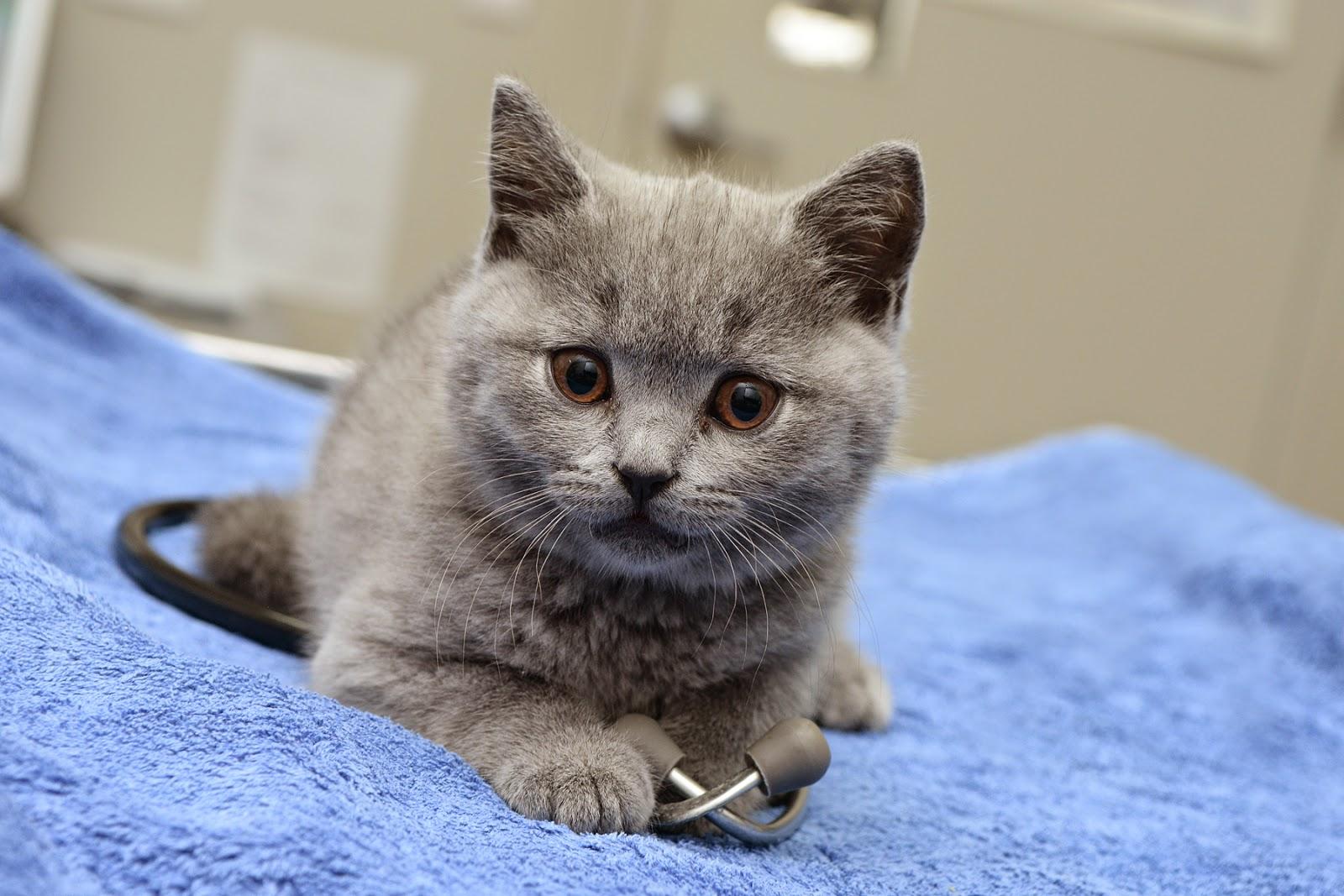 kitten stethoscope