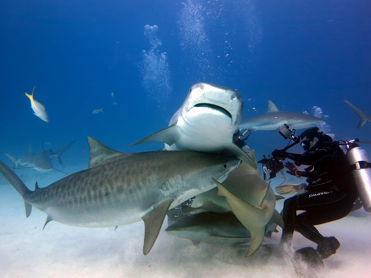 Tiger Shark Mayhem