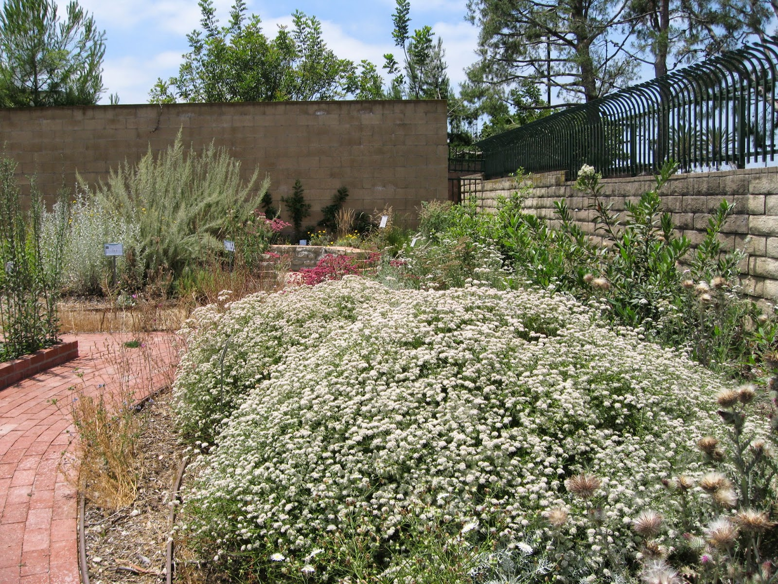 Plant Of The Month (June) : California Buckwheat   Eriogonum Fasciculatum
