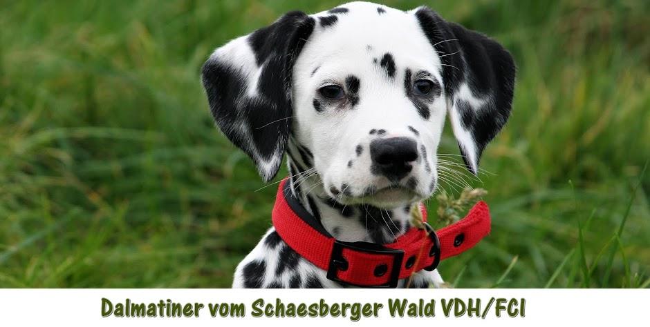 Dalmatiner vom Schaesberger Wald
