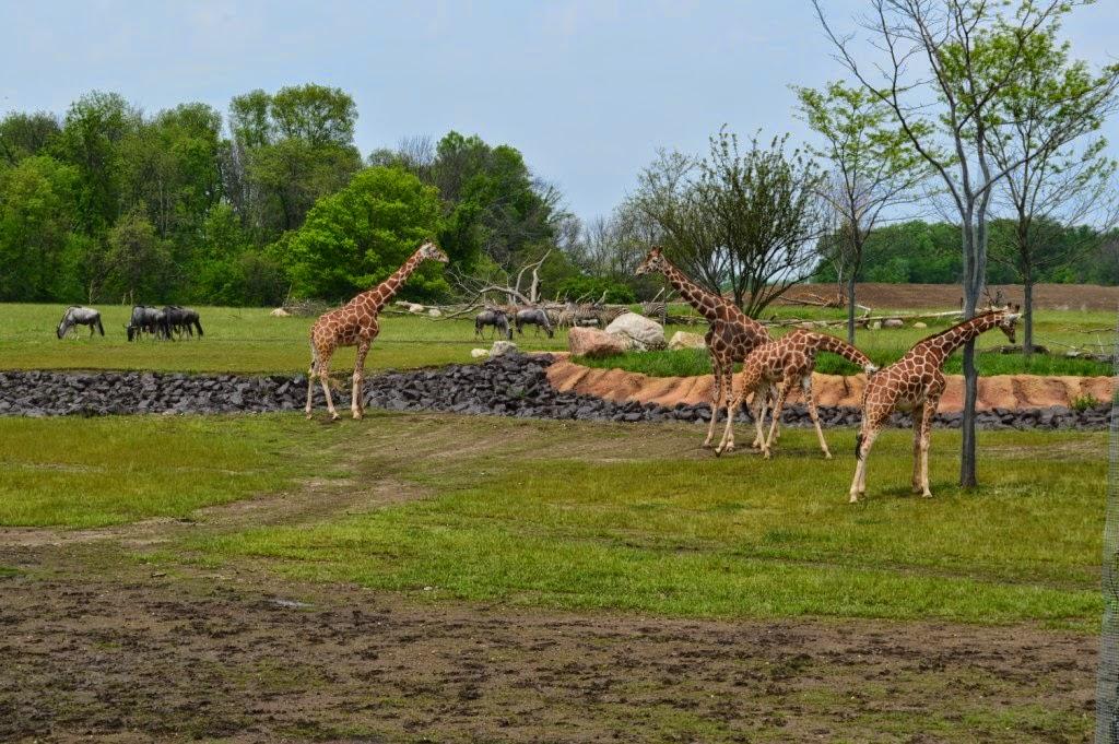 columbus zoo giraffes