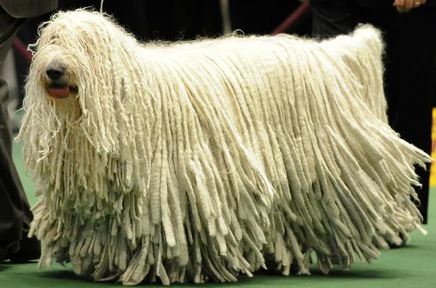 dog or a mop this is the komondor plural komondorok nicknamed mop dog