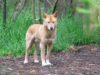 Dingo Wallpapers