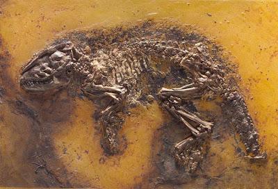placa fosil de Pholidocercus
