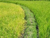 Rahasia cara menanam padi agar hasil memuaskan