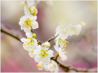 ボケがきれいな梅の花