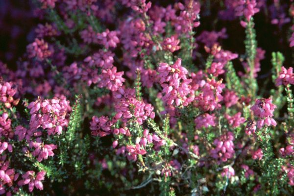 All About Growing Heathers and Heaths in the Garden