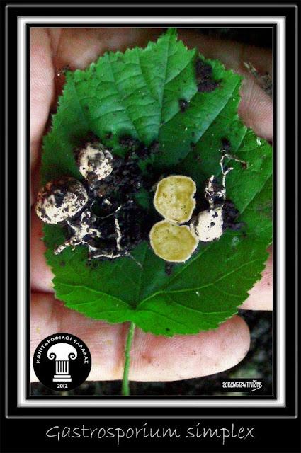 Gastrosporium simplex Mattir.