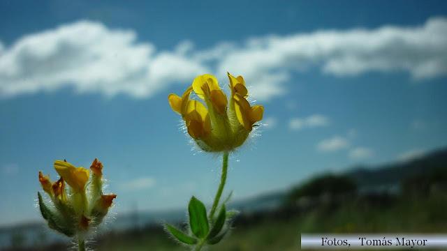 Flores y plantas silvestres Anthyllis ramburii