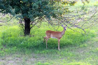 photo of doe in mid-summer