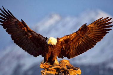 Bald Eagles HD Wallpapers