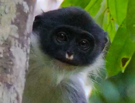 extinct-animals-rediscovered-caught-on-camera Shy Borneo Monkey Surili