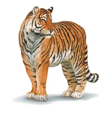 Des livres en ribambelle encore des contes du pourquoi - Image dessin tigre ...