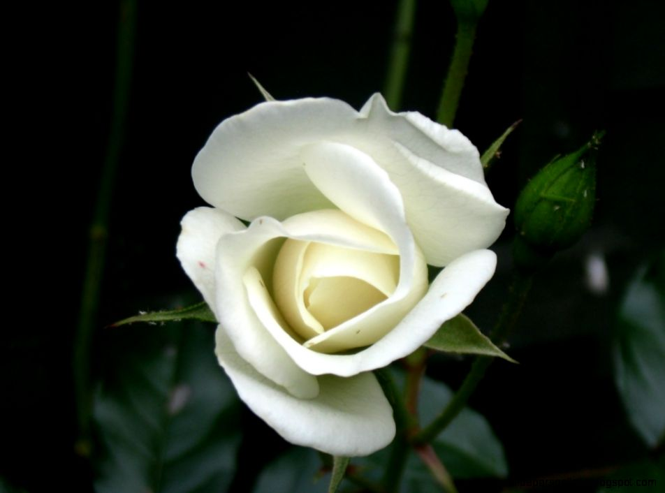 Single White Rose Meaning  Bouquet Idea