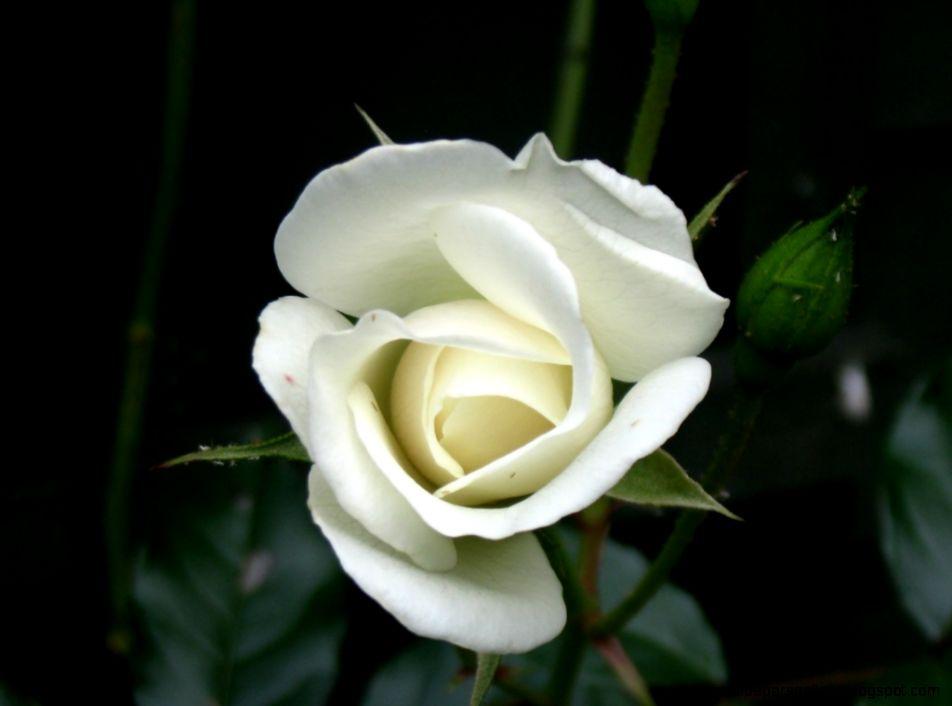 One White Rose Single White Rose Mean...