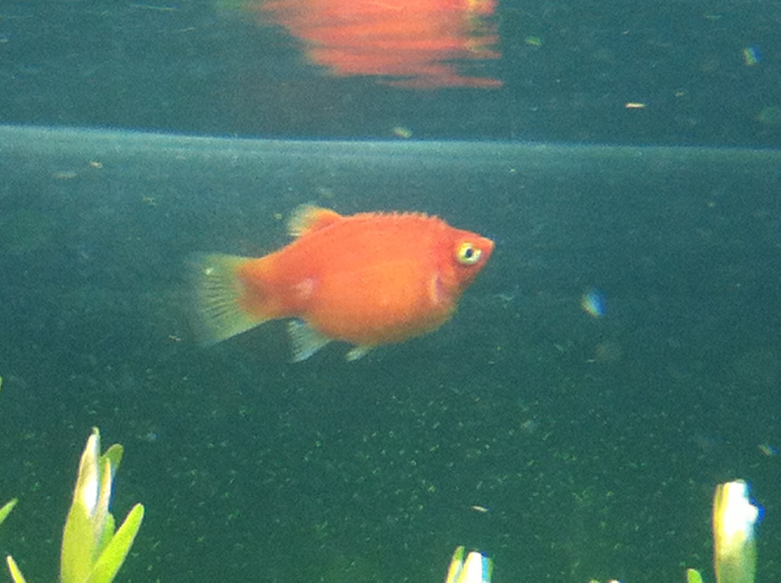 Pregnant platy fish for Pregnancy and fish