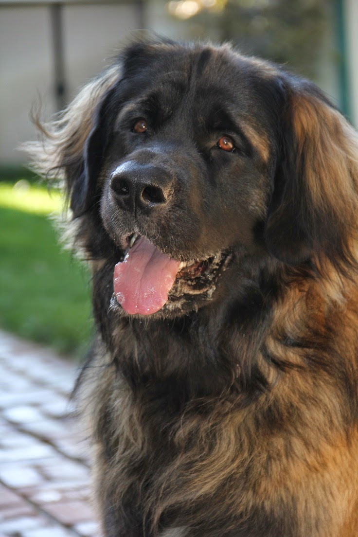Top 5 World's Largest Dog Breeds