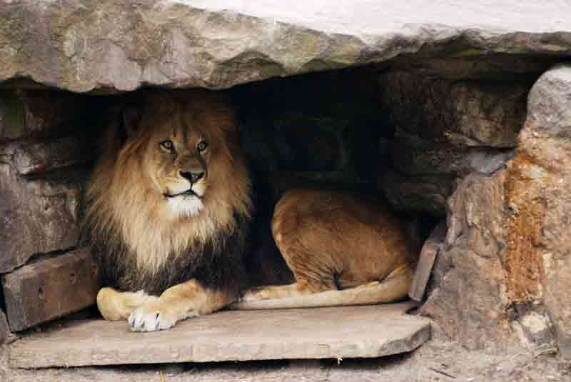 the lions lair