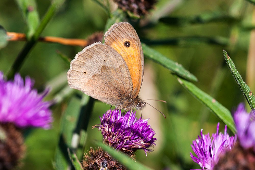 Meadow Brown - Stonpit Fields Park, Milton Keynes (2012)