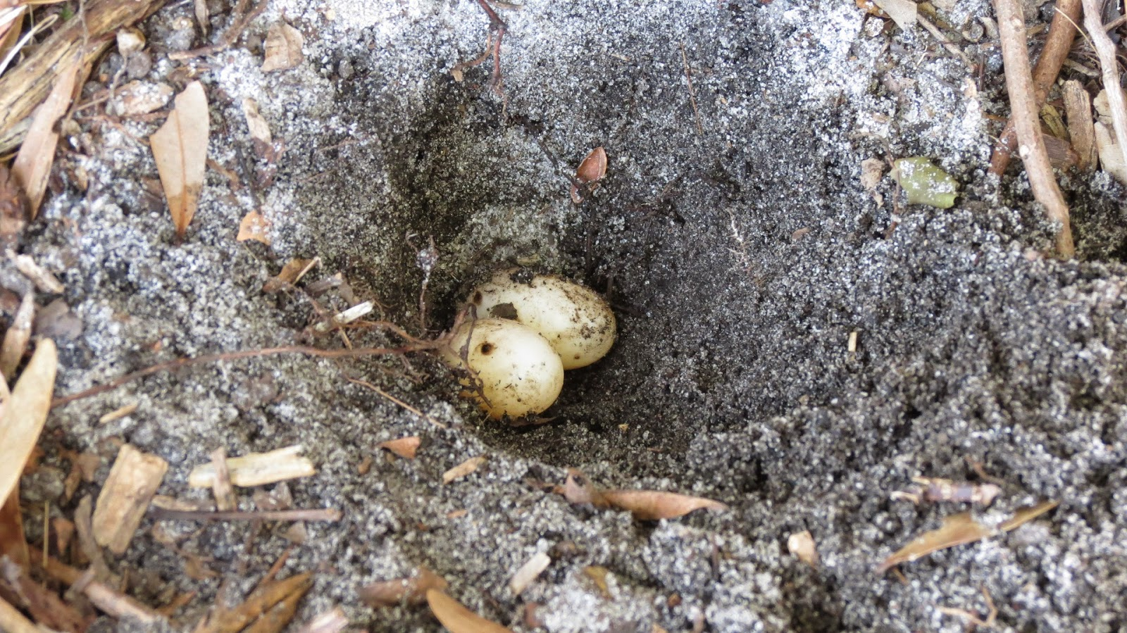 Three Striped Mud Turtle eggs in Florida