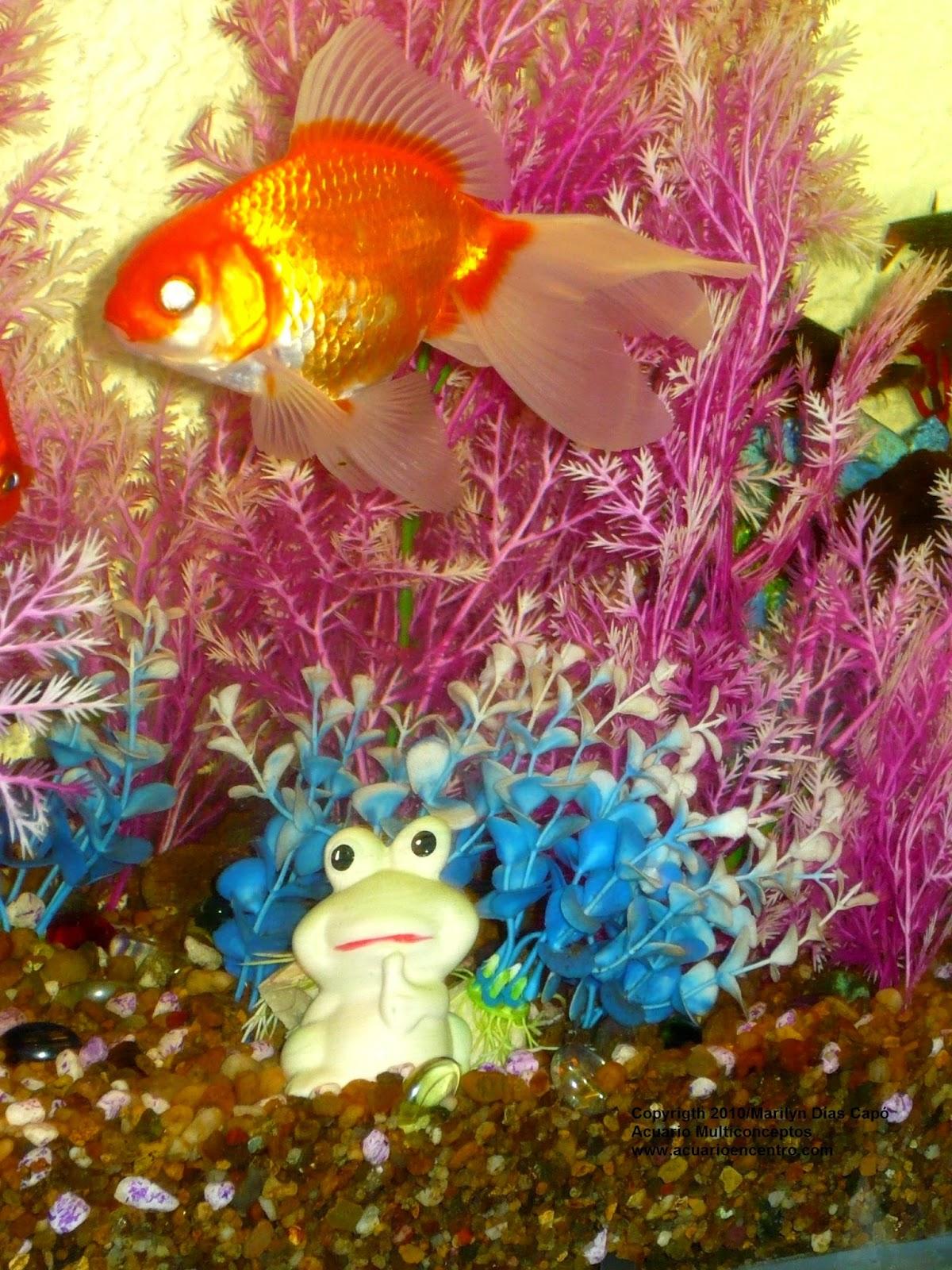 Peces tropicales de agua dulce acuario y biodiversidad for Variedades de peces de agua fria para acuario