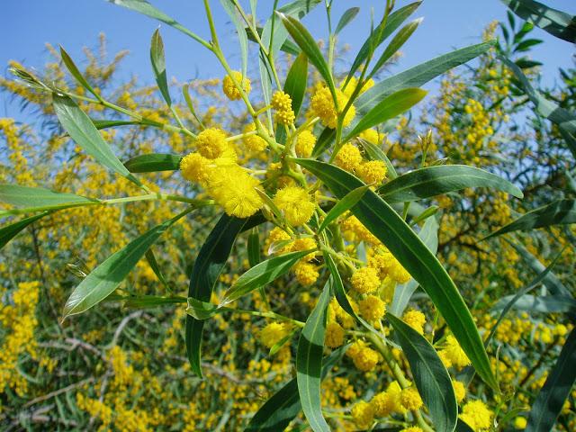 ACACIA AZUL: Acacia saligna