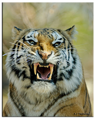 Tiger Angry Photo