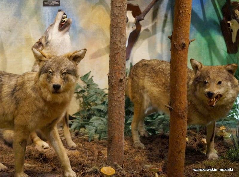 Łazienki Królewskie Warszawa zwierzęta wilk wilki polowanie