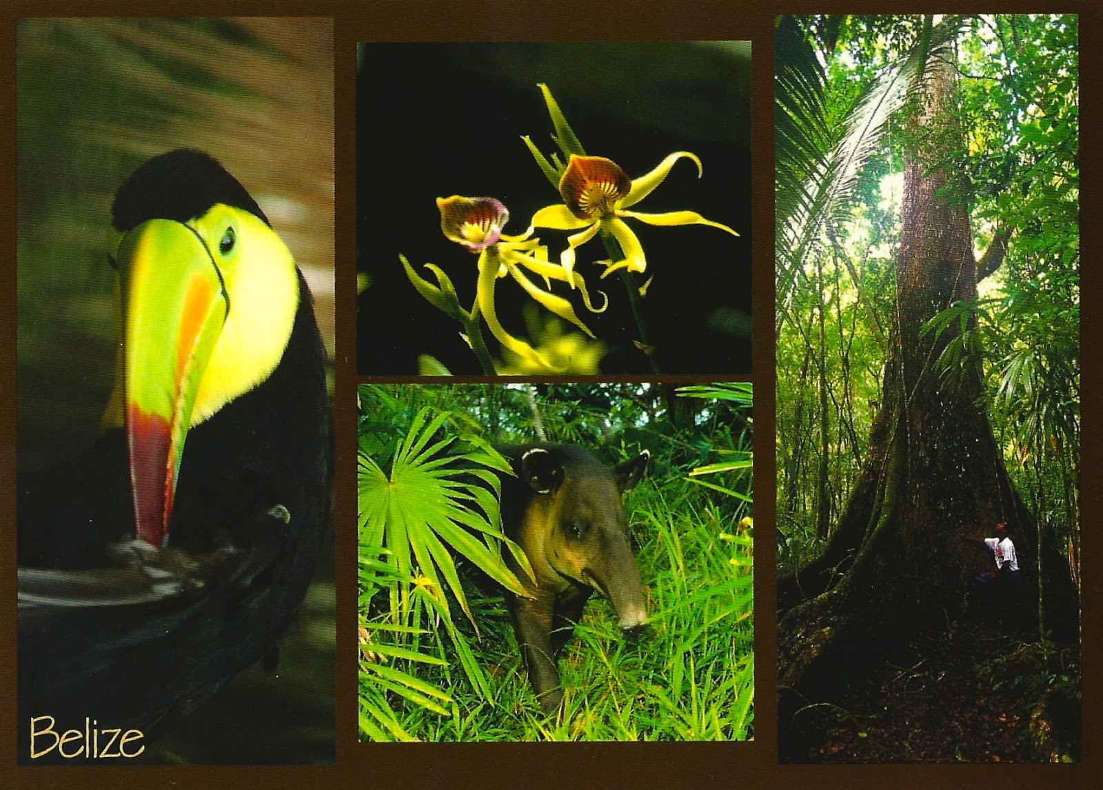 My favorite animal postcards keel billed toucan and tapir from belize keel billed toucan and tapir from belize biocorpaavc Image collections