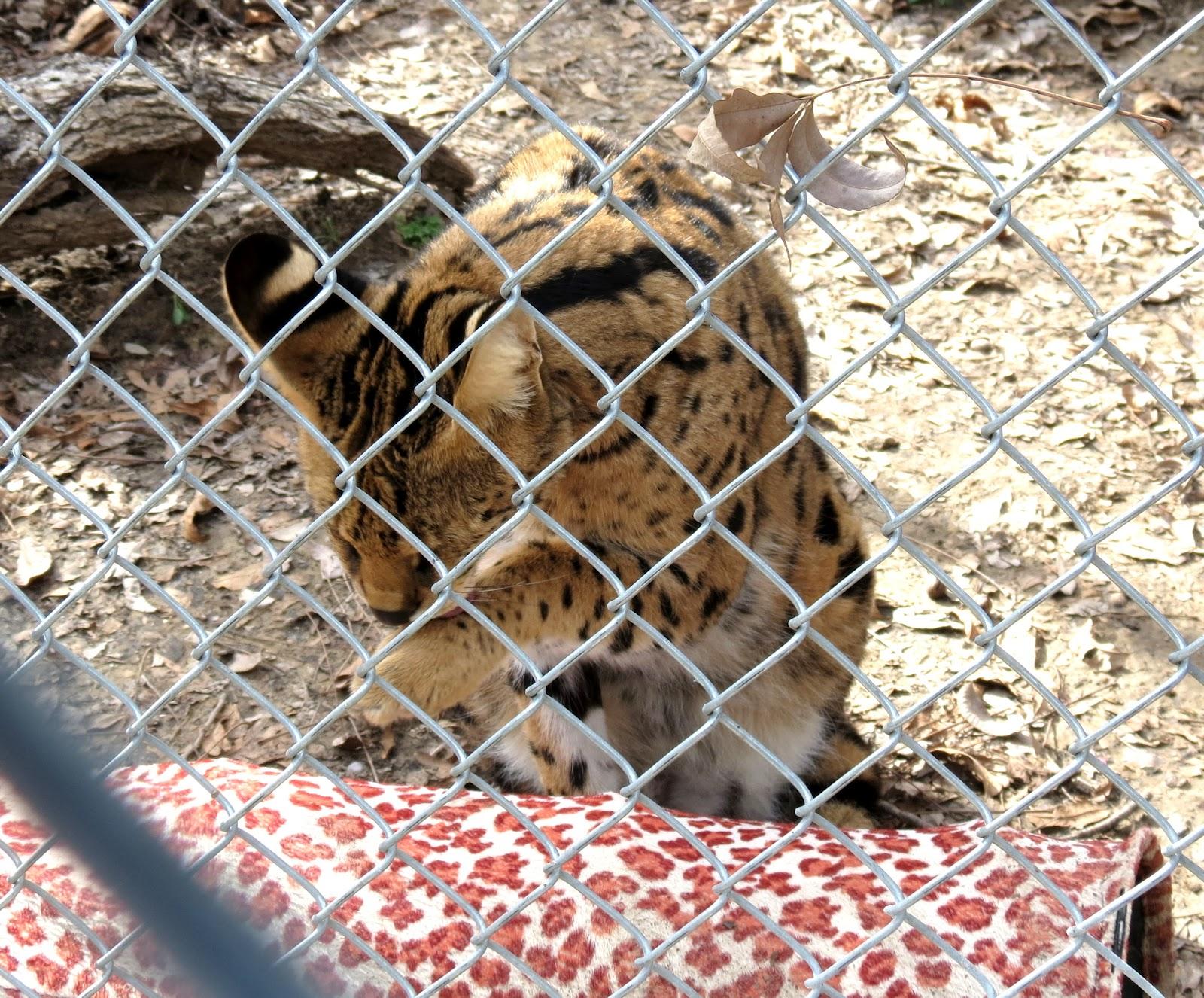 JBs Big World Rescued Big Cats Part III