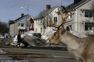 ren, reindeer