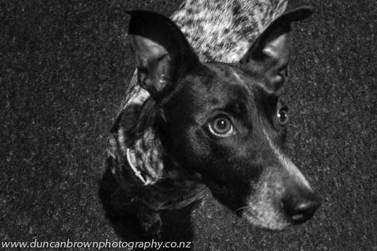 I can do cute, a blue heeler fox terrier cross dog photograph
