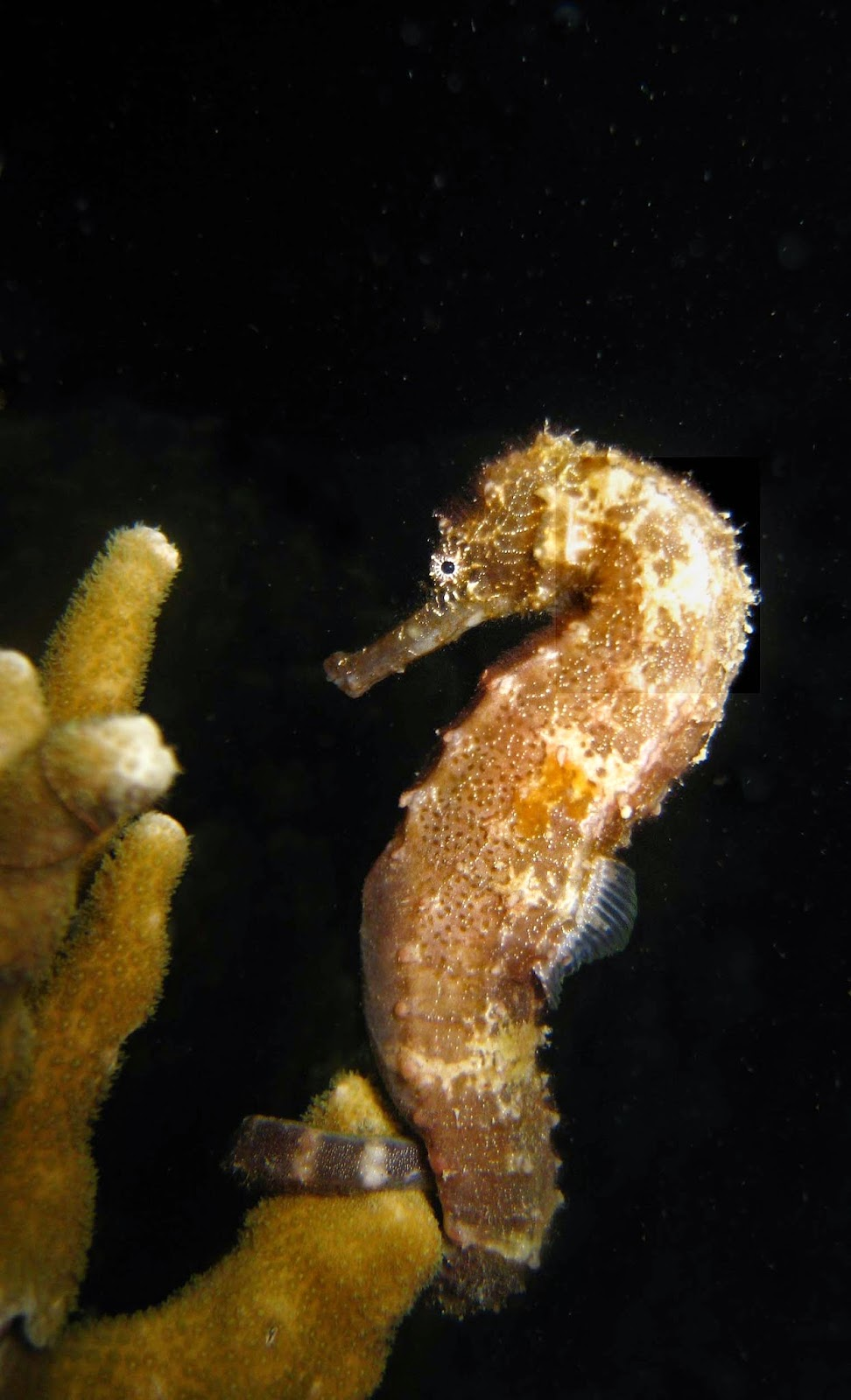 Tiger tail sea horse at Exotic Island dive resort