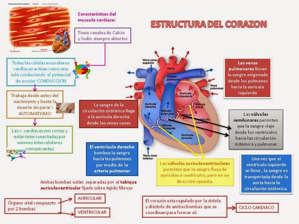 Blog de Fisiologia Médica de Brenda de Jesús Valdez Armenta ...
