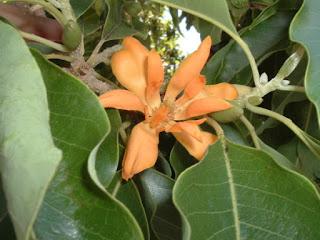 Michelia-champaca