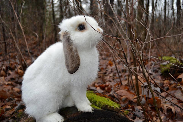 very beautiful mini lop rabbit