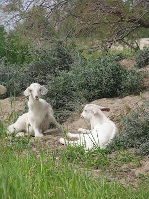 Mastichari Spring Goats